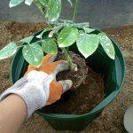 新苗を鉢に植える