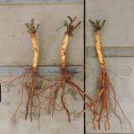 台木と穂木の関係を覚えよう!