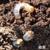 バラのマメコガネの幼虫対策(無農薬)