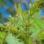 バラのアブラムシ・芋虫対策(無農薬)