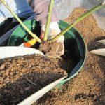 大苗を鉢に植える