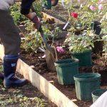 鉢バラを地植えする