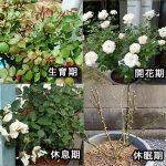 バラは生長サイクルで育つ!