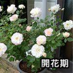 バラの開花期の解説