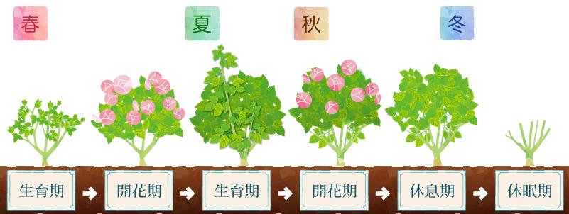 バラの生長ステージ