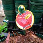 イチゴの育て方