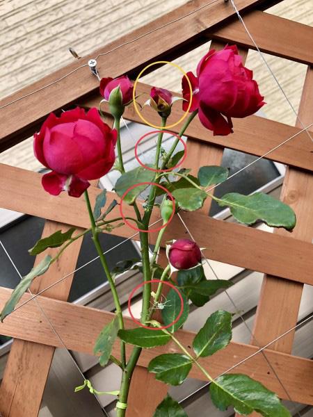 ハナグモダミーの効果で無事開花